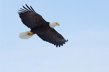 bald eagle: Alaska �guila calva, Haliaeetus leucocephalus, volaba sobre el oc�ano con fondo de cielo azul Foto de archivo