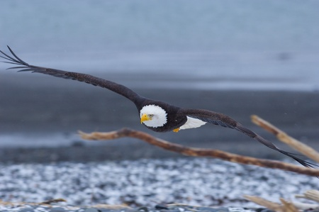 Alaskan Bald Eagle, Haliaeetus leucocephalus, flying over beach with sticks in foreground photo