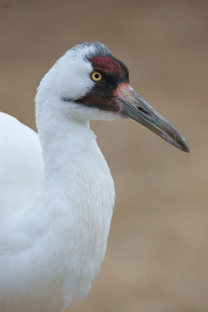 whooping: Critically Endangered Whooping Crane, Grus americana, portrait with tan background