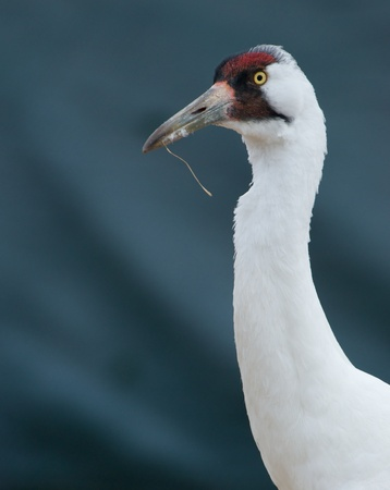 whooping: Critically Endangered Whooping Crane, Grus americana, portrait with dark background