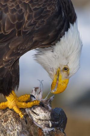 bird eating raptors: Alaskan Bald Eagle, Haliaeetus leucocephalus, eating a fish on a log