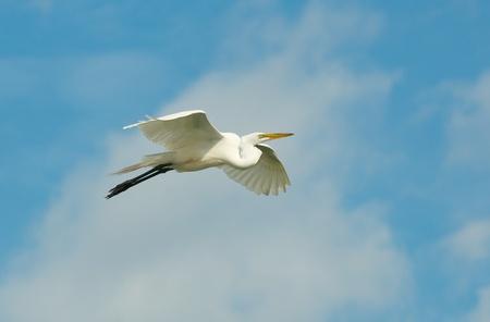 Great Egret, Ardea alba, in flight from underside of wings with blue sky background