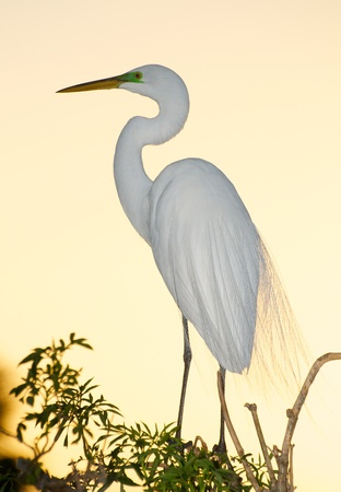 egret: Great Egret, Ardea alba, standing on trees with sunset sky in the background
