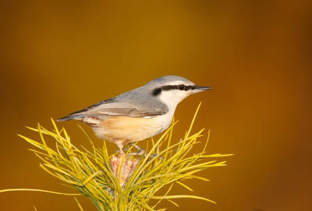 Eurasian Nuthatch, Sitta europaea, on top of pine tree with tan or brown background