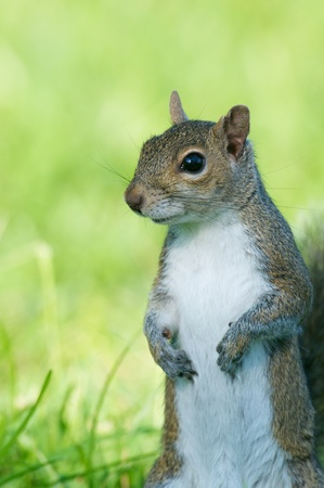 Eastern Gray Squirrel, Sciurus carolinensis, portrait with green grass background Stock Photo