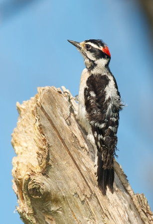 downy woodpecker: Downy Woodpecker, Eudocimus albus, on tree looking for bugs