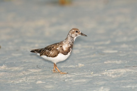 pluvialis: Black-bellied Plover on fine gray beach sand