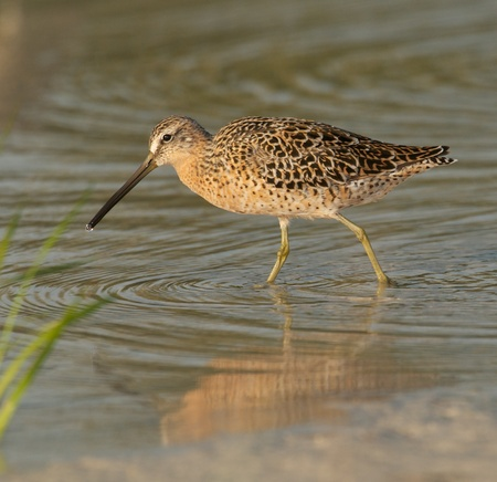plumage: Red Knot in breeding plumage walking in shallow water