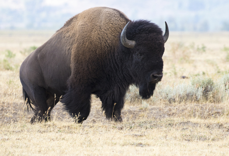 ungulate: Bison coming up hill with mountains in background