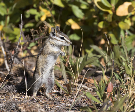 chippy: Dancing least chipmunk in grass and trees