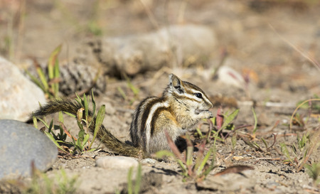 chippy: Least chipmunk on dirt with grass
