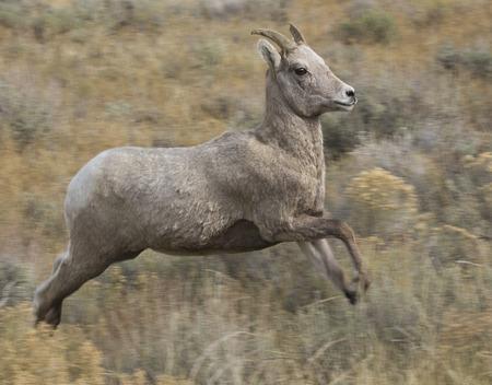 herbivores: Jumping ewe bighorn sheep over grass