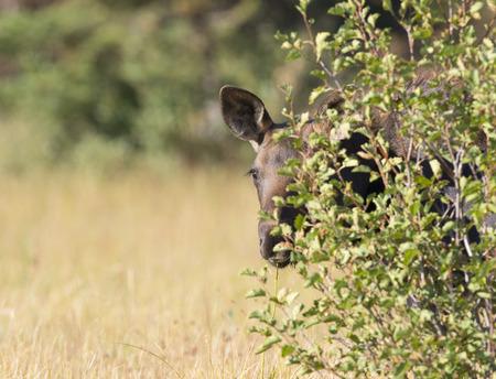peekaboo: Young moose hiding behind tree, peek-a-boo
