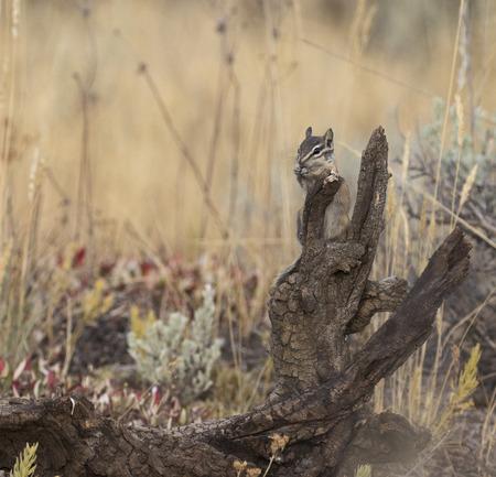 ardilla: ardilla hacia el este en tocón de árbol de comer