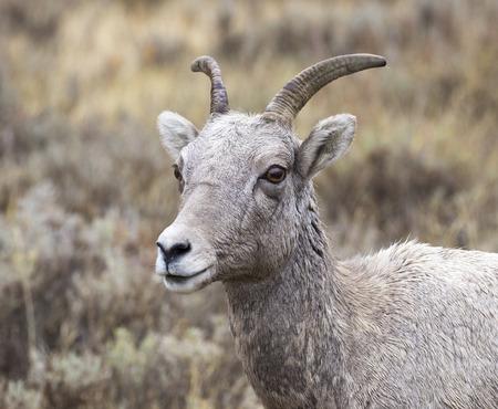 borrego cimarron: borrego cimarrón oveja para la artemisa y la hierba