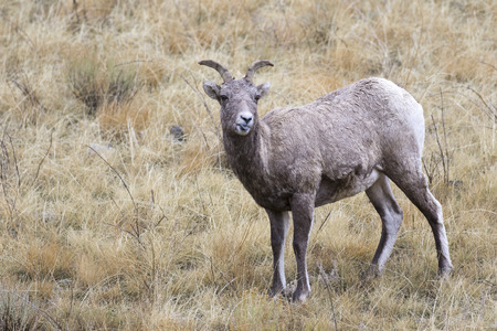 lengua afuera: Expressing your attitude, stick your tongue out, bighorn sheep