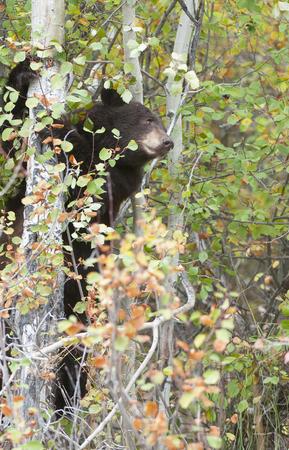 aspen tree: Black bear climbing aspen tree in the fall