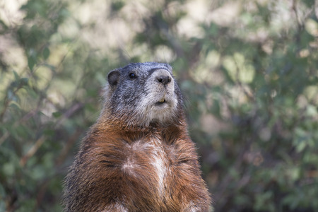omnivore: Yellow-bellied marmot portrait of head and chest