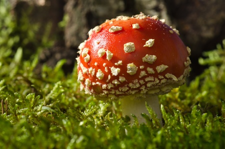 Toadstool in the birch forest (Amanita muscaria) Stock Photo