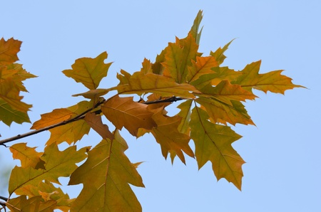 Branch with oak leaves Stock Photo