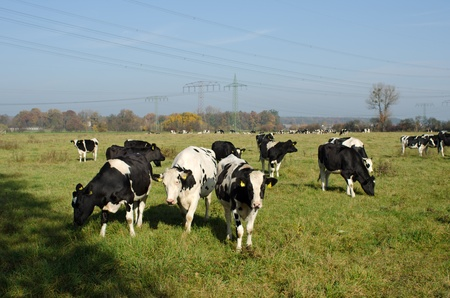 Cows graze in a meadow Stock Photo