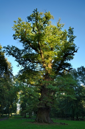 1000 year old oak tree at Ivenack, Mecklenburg-Vorpommern, Germany