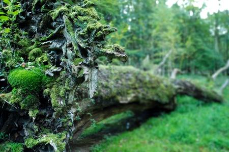 old uprooted oak at Ivenack, Mecklenburg-Vorpommern, Germany