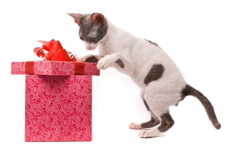 Cornish rex cat looking in gift box on a white background photo