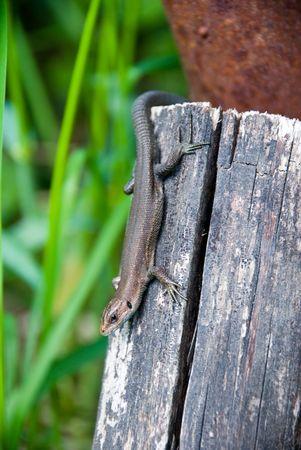 Lizard on wood photo
