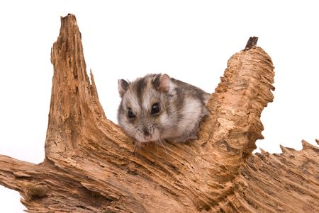 The small hamster sits on a tree. Stock Photo - 7395230