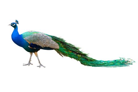 long tail: Peacock isolated on white.