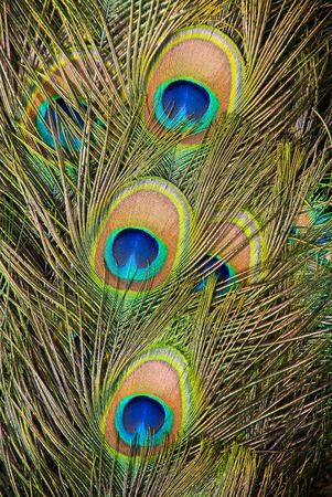 Peacock feathers Stock Photo - 7431254