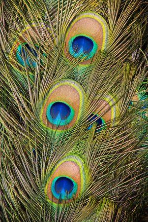 plumas de pavo real: Plumas de pavo real  Foto de archivo