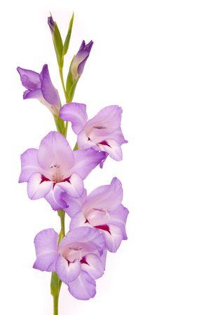 gladiolus: Beautiful Gladiolus on white background