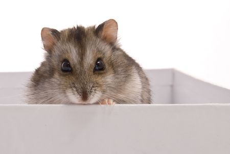 dwarf hamster: Dwarf Hamster in box on a white background Stock Photo