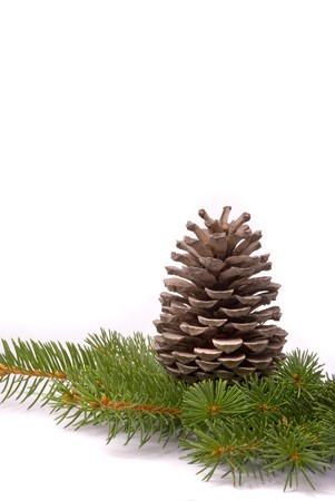 fir cones: Branch with cone isolated on a white background