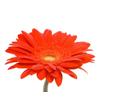 Red gerber flower with water drops on white background Stock Photo - 7478044