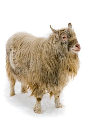 chèvres: Ch�vre isol�e sur fond blanc