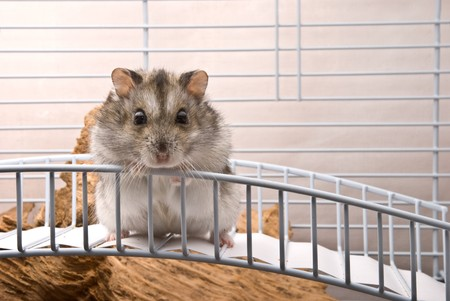 greed: Dwarf hamster looking in camera Stock Photo