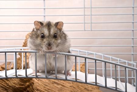 dwarf hamster: Dwarf hamster looking in camera Stock Photo