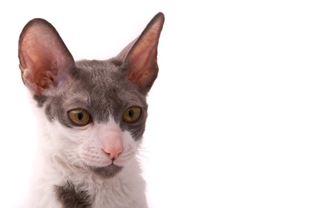 Cornish rex cat on a white background photo