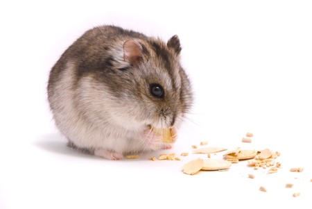 hamster: Dwarf hamster eating pumpkin seed Stock Photo