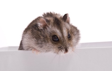 Dwarf Hamster in box on a white background   photo