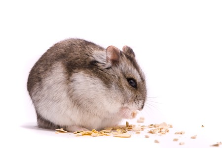 Dwarf hamster eating pumpkin seed Stock Photo - 7605639