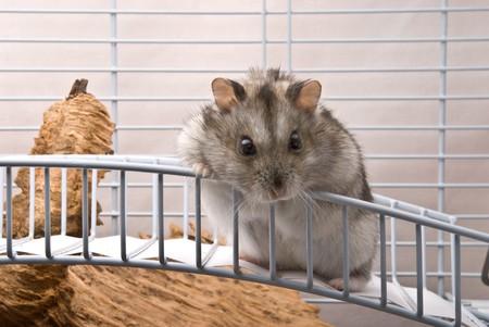 Dwarf hamster looking in camera photo