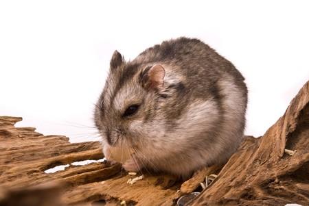 Little hamster eat sunflower seed. photo