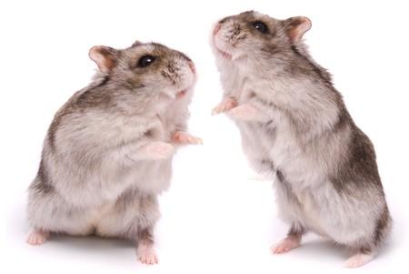 hamsters: Dwarf hamsters