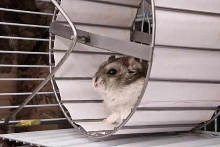 Dwarf hamster in a wheel photo