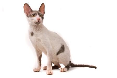 Cornish rex cat on a white background photo