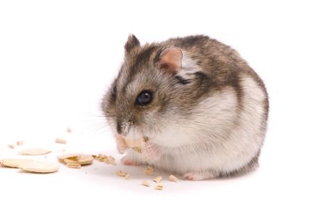 dwarf hamster: Dwarf hamster eating pumpkin seed